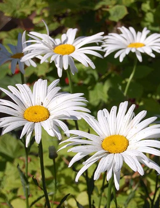Scam Warning Signs Page - Photo of Daisies